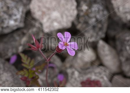 Geranium Robertianum, Herb- Robert  Blooming In Purple Flowers On Stony Background In Estonian Natur