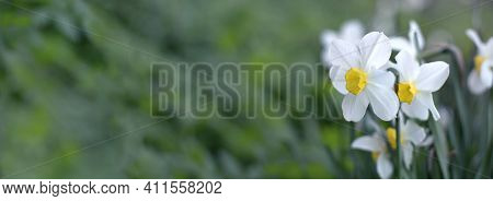 Spring Banner With Blooming Daffodils, White Early Spring Flowers, Free Space, Place For Text, Focus