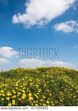 Field With Yellow Marguerite Daisy Blooming Flowers Against And Blue Cloudy Sky. Spring Landscape Na