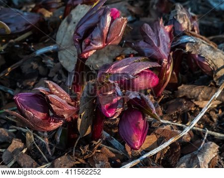 Flower Purple Hellebore In Early Spring As Soon As Snow Melts Emerging From Dry Leaves On Ground