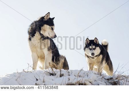 Two Black And White Siberian Huskys Standing On A Hill In The Background Of Sky. Beautiful Siberian