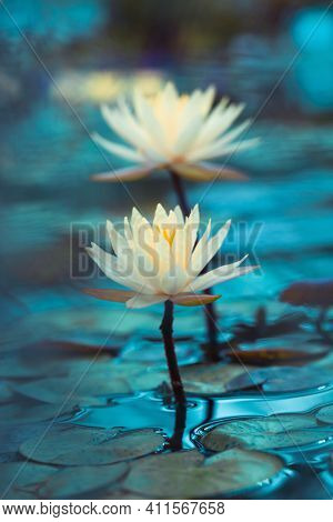 Bright White Water Lily Close Up. White Lotus On Blue Background. Delicate Flower In The Pond. Tropi