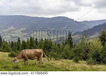 Majestic View On Foggy Carpathian Mountains Meadow. Cow Graze In The Carpathian Mountains Meadow