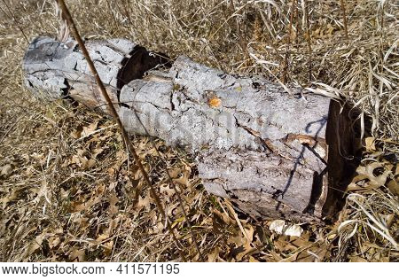 Old Log From Downed Tree Rotting In The Rushes