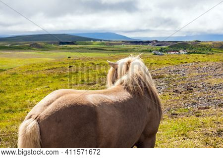 Croup of a thoroughbred horse with a light mane. Green fresh high grass in summer tundra. Iceland. Dream travel. Beautiful and well-groomed Icelandic horses on a free pasture. Iceland.
