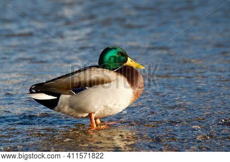 Beautiful Drake Male Mallard Duck Standing In The Shallow Water Of The Lake Lugano At Sundown In Swi