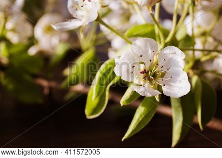 White Sprig Of Blooming Apple Tree Close-up. Flowering Period. Flower Nectar. Banner Or Holiday Cert