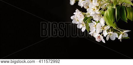 White Sprig Of Blooming Rear Tree Close-up. Flowering Period. Flower Nectar. Banner Or Holiday Certi