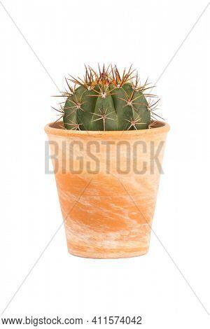 Small cactus plant, Melocactus azureus genus, in terra cotta flower pot isolated  on white background