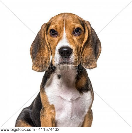Head shot of puppy Beagles dog, isolated