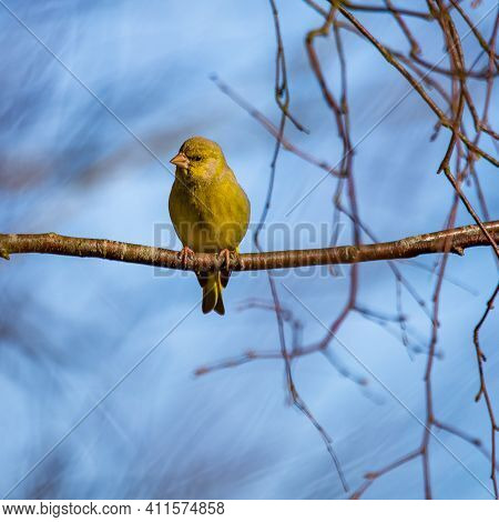 A Beautiful Small Singing Bird Sitting On The Branch. Springtime Scenery With A Bird During The Nest