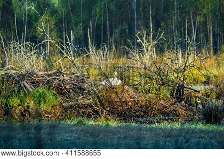 Beautiful White Whooper Swans Swimming In Wetlands In Natural Wild Habitat. Spring Scenery With Bird
