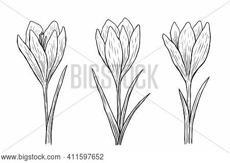 Crocus Outline Set. Vector Hand-drawn Illustration In Line Art Style. Sketches Of Spring Flowers. Pe