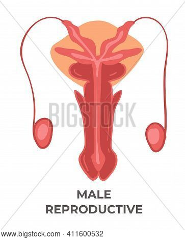 Male Reproductive System, Health Care And Medicine