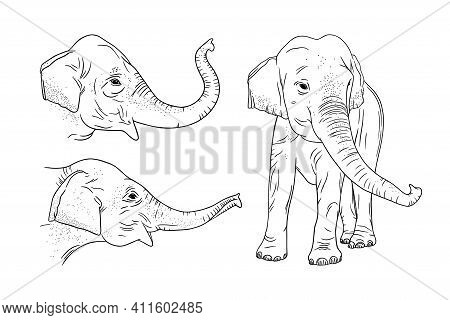 Realistic Elephant Set Isolated On White Background. Engraved Indian Elephant For Zoo Designs. Sketc
