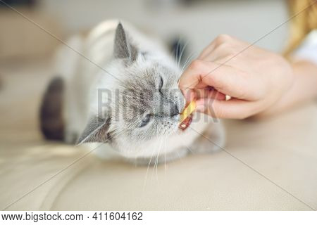 Scottish Cat Receives Treats, Feed The Animal, The Cat Eats. High Quality Photo.