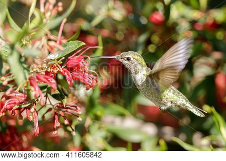 Anna's Hummingbird Adult Female Hovering And Sipping Nectar. Santa Cruz, California, Usa.