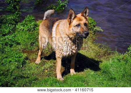 Beautiful german shepherd dog pending
