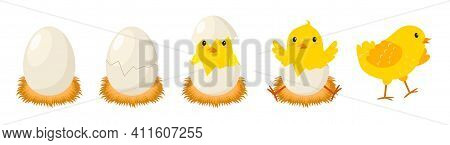 Chicken Hatching Stages. Newborn Little Cute Chick, Small Baby Bird Emergence From Egg, Cracked Shel