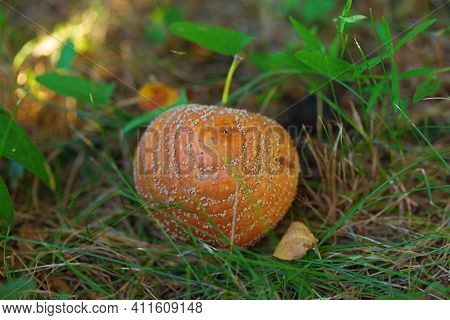 Rotten Apple Lying On The Ground Among The Green Grass. Fallen Apple Covered With Mold.