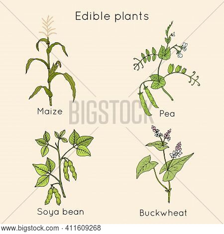 Set Of Edible Plants. Hand Drawn Botanical Vector Illustration