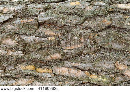 Tree Bark Wooden Background. Close Up. Natural Texture Of Tree Bark. Natural Environment Pattern.