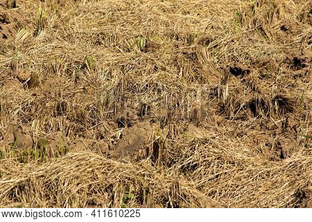 View Of Agricultural Farm Land Post Harvesting Of Paddy Crops. Stubble After Harvest.
