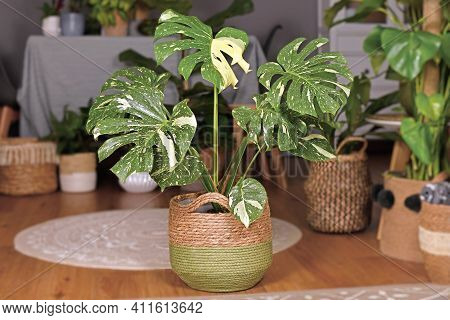 Large Variegated Tropical Houseplant With Botanic Name Monstera Deliciosa Thai Constellation With Be