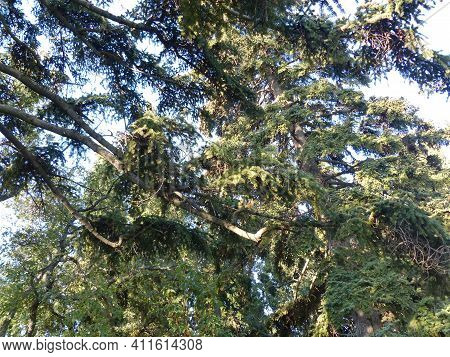 Evergreen Cypresses And Junipers In The South Park. Summer Evening. Crimean Landscape. The Area Of T