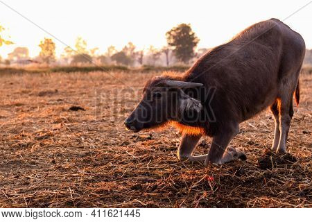 Swamp Buffalo At A Harvested Rice Field In Thailand. Young Buffalo Knee Down On Ground At Farm In Th
