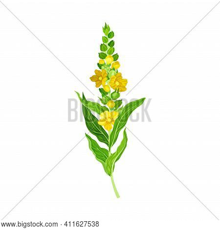 Mullein Plant With Yellow Blooming Florets And Dense Rosette Of Leaves Vector Illustration