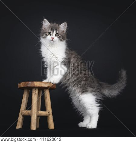 Cute Blue White Bicolor Siberian Forestcat, Standing Side Ways With Front Paws On Little Wooden Stoo