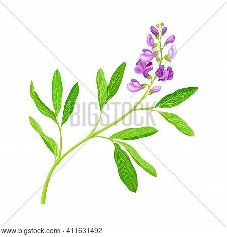 Medicago Sativa Or Alfalfa Plant Having Elongated Leaves And Clusters Of Small Purple Flowers Vector