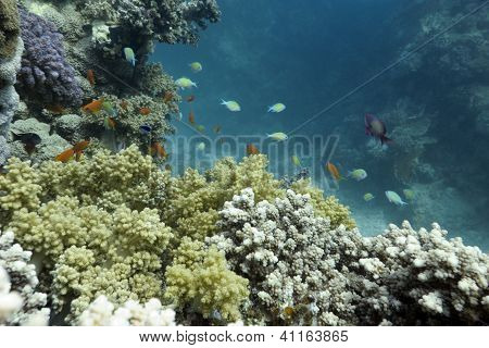 coral reef with exotic fishes on the bottom of red sea in egypt - underwater photo poster