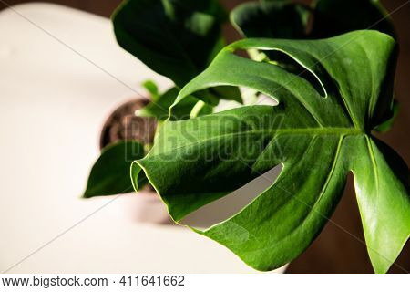 monstera or split-leaf philodendron (Monstera deliciosa) in a pot growing houseplants indoors