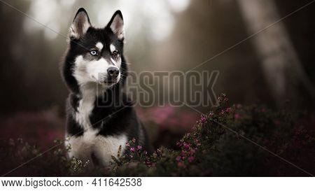 Black And White Wolf In Jungle Beautiful Wolf White Eye Dog Jungle Dog Dangerous Dog Alert Wolf Wolf
