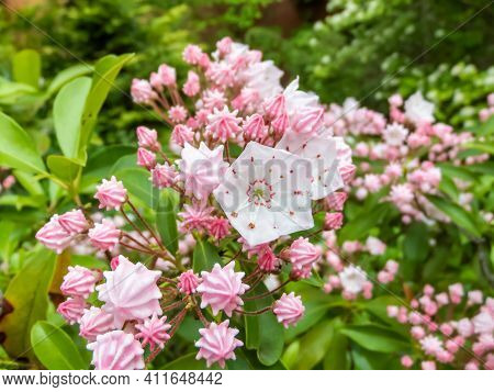 Closeup Shot Of White And Pink Evergreen Shrub Mountain Laurel (calico-bush Or Spoonwood) Flowers