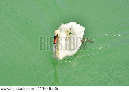 A White Swan Swimming In The Waters Of The Isola Della Cona Wetland Nature Reserve In Friuli-venezia