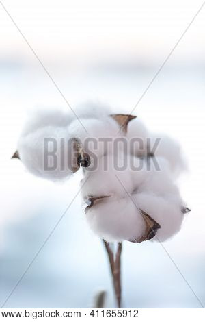 Cotton Branch In A Turquoise Vase On On Windows Still. Delicate White Cotton Flowers. Light Cotton B