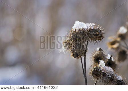 Thorny Plants, Bur, Dry Ripe Arctium Fruits. Burdoc Cockleburs In Winter Or Spring On A Bright Snowy