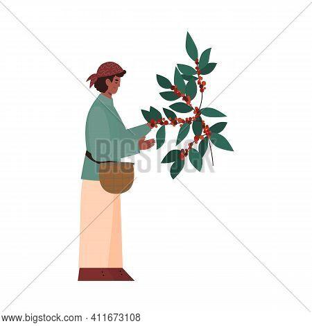 Coffee Plantation Farmer Harvesting Coffee Beans From Bush, Flat Cartoon Vector Illustration Isolate