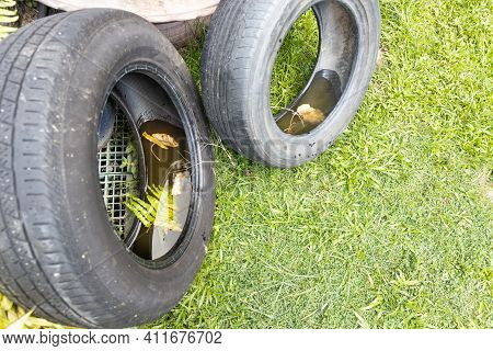 Abandoned Tyre Outdoor With Still Water From Rain Condusive Place For Aedes Mosquito Breeding. Selec