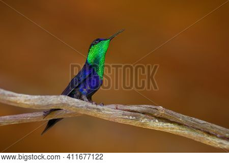 Crowned Woodnymph - Thalurania Colombica Green And Blue Bird In Hummingbird Family Trochilidae, Foun