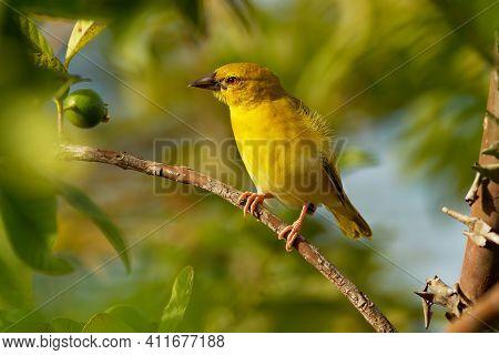 Eastern Golden Weaver - Ploceus Subaureus Yellow Song Bird In The Family Ploceidae, Found In Eastern