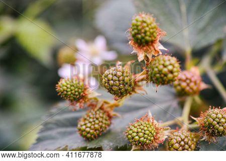 Close-up Of Unripe Green Blackberries Growing In The Garden.