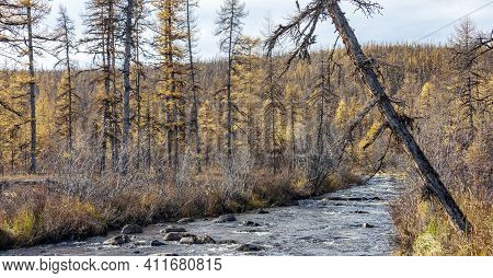 Swampy Autumn Larch Taiga In Northern Siberia. Mountain Stream In On The Border Of The Forest And Tu