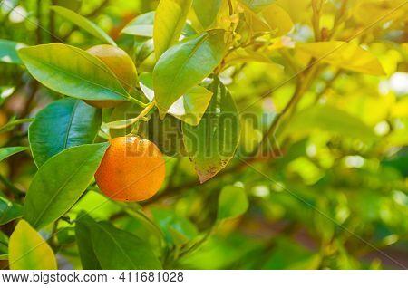 Garden landscape. Cumquat fruit in summer garden. Fortunella japonica kumquats growing in the summer garden, garden view,summer garden scene, garden landscape