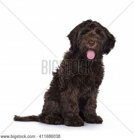 Adorable Dark Brown Cobberdog Aka Labradoodle Pup, Sitting Side Ways With Tongue Out. Looking Toward