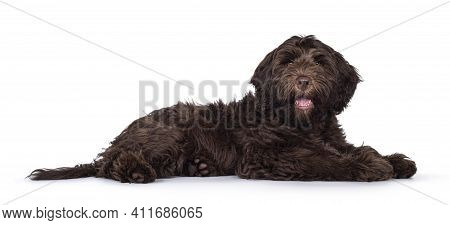 Adorable Dark Brown Cobberdog Aka Labradoodle Pup, Laying Down Side Ways With Mouth Open. Looking To