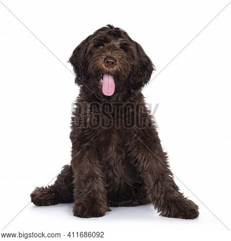 Adorable Dark Brown Cobberdog Aka Labradoodle Pup, Sitting Up Facing Front With Tongue Out. Looking